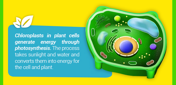 Chloroplasts in plant cells generate energy through photosynthesis